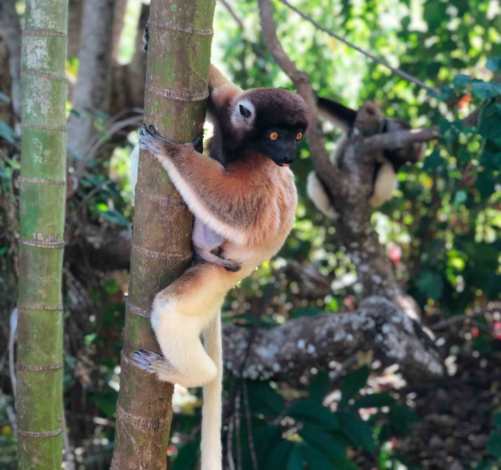 Lemurs at Ankarafantsika