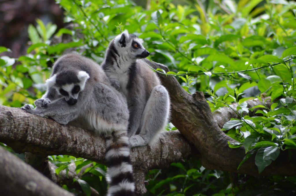 Lemurs Lokobe Reserve