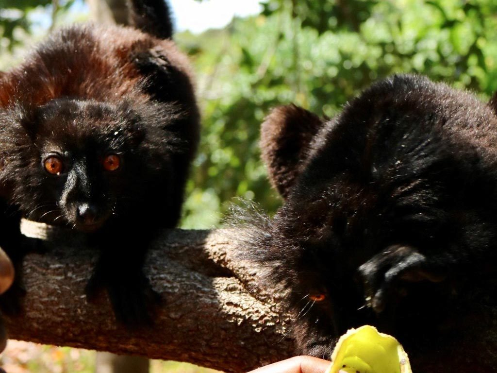 Lemurs in Nosy Komba