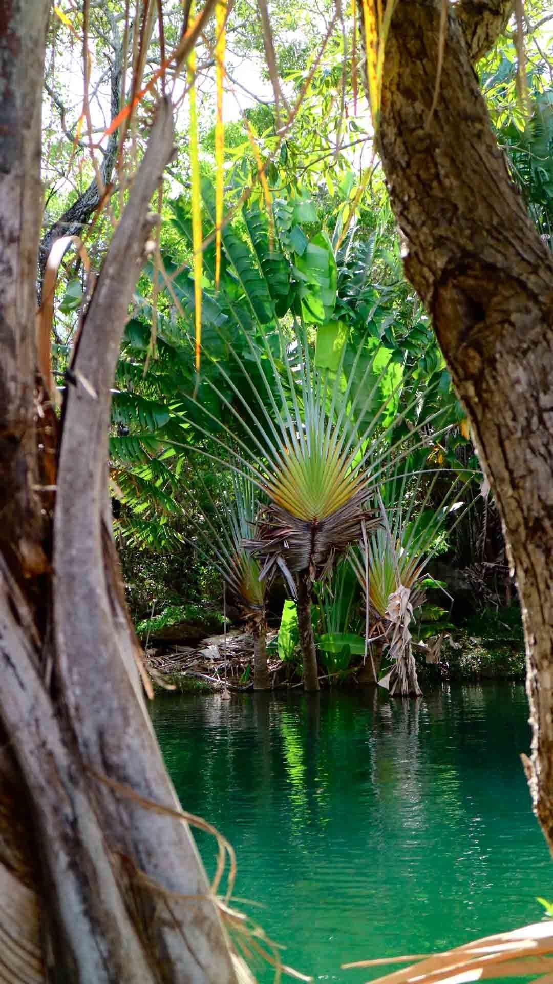 Arbre du voyageur, Madagascar